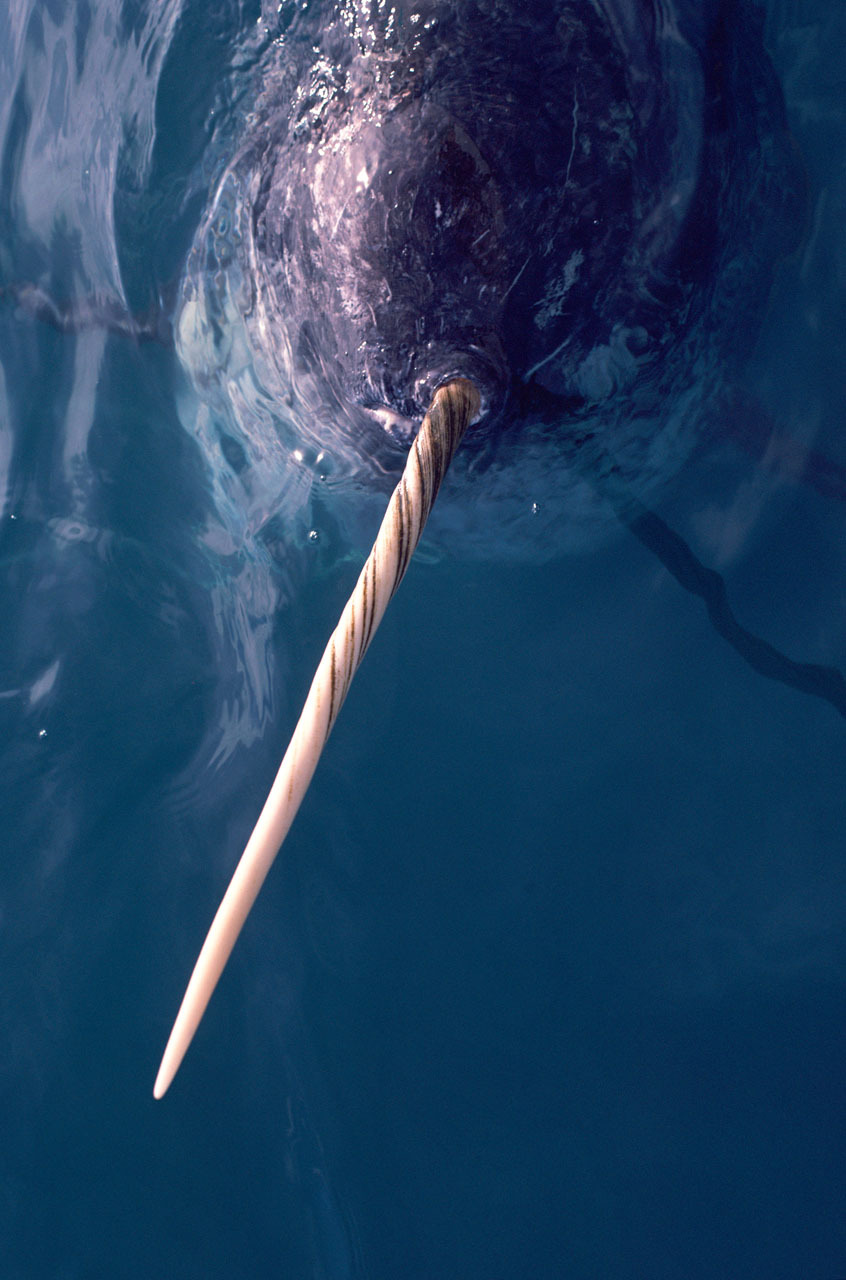 Why does a narwhal have ahorn?
